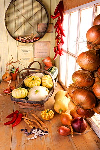 Rustic potting shed, bench with Autumn squashes, chillies and shallots, Norfolk, UK, September  -  Gary K. Smith