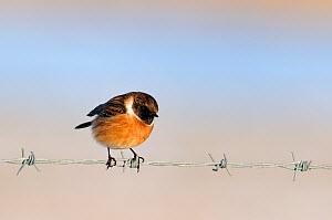 Stonechat (Saxicola torquatus rubicola) male perched on barbed wire, Norfolk, UK, January  -  Gary K. Smith