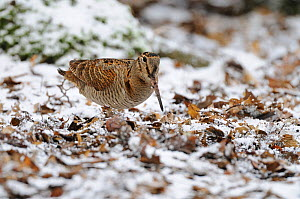 Woodcock (Scolopax rusticola) feeding at woodland edge in snow covered leaf litter, Norfolk, UK, January  -  Gary K. Smith