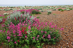 Red valerian (Centranthus ruber) in flower on shingle, with Sea kale (Crambe maritma) in background. Shoreham Beach LNR, Sussex, England, UK - Simon Colmer
