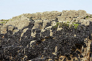 Bed of exposed Common / Blue mussel (Mytilus edulis) on rocks at low tide, Cornwall, England, UK  -  Simon Colmer