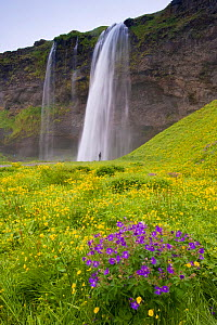 Skogafoss waterfall with Silverweed (Potentilla anserina) and Wood Crane's Bill (Geranium sylvaticum), South Iceland. July 2008  -  Inaki Relanzon