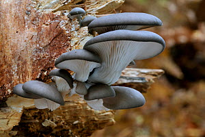Oyster mushroom / Oyster bracket fungus (Pleurotus ostreatus) growing on tree trunk in forest, Belgium  -  Philippe Clement
