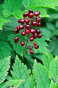 Berries of Red baneberry (Actaea spicata rubra / Actaea erythrocarpa), Belgium - Philippe Clement