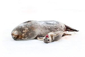 Weddell seal {Leptonychotes weddellii} mother with pup on ice, pup yawning, Antarctica  -  Neil Lucas