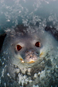 Weddell seal (Leptonychotes weddellii) looking up from ice-hole, McMurdo Sound, Ross Sea, Antarctica, November 2008  -  Neil Lucas