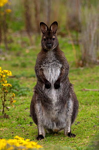 Bennett's / Red-necked Wallaby (Macropus rufogriseus) male in field at dusk, South Bruny Island, Tasmania, Australia  -  Steven David Miller