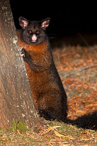 Common Brushtail possum (Trichosurus vulpecula)foraging for food in the late evening (captive) Mount Field National Park in Tasmania. Australia - Steven David Miller