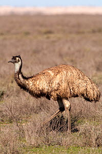 Emu (Dromaius novaehollandiae) walking in open scrubland, Mungo National Park, New South Wales, Australia - Steven David Miller