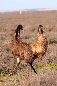 Two Emus (Dromaius novaehollandiae) fighting in open scrubland, Mungo National Park, New South Wales, Australia - Steven David Miller