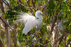 Intermediate egret (Egretta intermedia) perched in branch of tree, Queensland, Australia - Steven David Miller