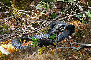 Tiger snake (Notechis scutatus) moves through the undergrowth of the temperate rainforest of Franklin-Gordon Rivers National Park in Tasmania. Australia - Steven David Miller