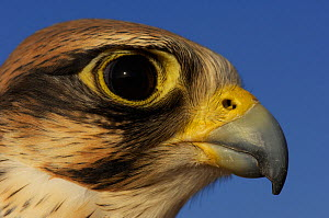 RF- Lanner falcon (Falco biarmicus), head portrait of captive falconry bird, Dubai, United Arab Emirates. (This image may be licensed either as rights managed or royalty free.)  -  Staffan Widstrand