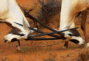 RF- Arabian oryx (Oryx leucoryx) males fighting with locked horns, Dubai Desert Conservation area, United Arab Emirates. February. (This image may be licensed either as rights managed or royalty free....  -  Staffan Widstrand