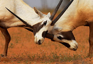 Arabian oryx (Oryx leucoryx) two males fighting,  Dubai Desert Conservation area, United Arab Emirates, February  -  Staffan Widstrand