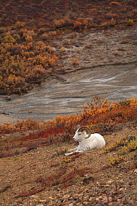 Dall sheep (Ovis dalli) male resting on the slope of the canyon, Denali NP, Alaska, USA, North America. September 2009.  -  Konstantin Mikhailov