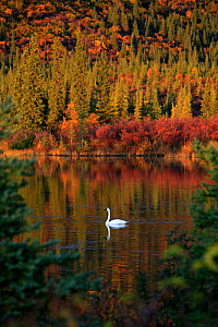 Trumpeter Swan (Cygnus buccinator) on lake, during migration through Denali mountainous tundra area, Denali Road in Alaska, North America. September. - Konstantin Mikhailov