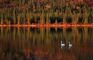 Trumpeter Swans (Cygnus buccinator) on lake, during migration through Denali mountainous tundra area, Denali Road in Alaska, North America. September. - Konstantin Mikhailov