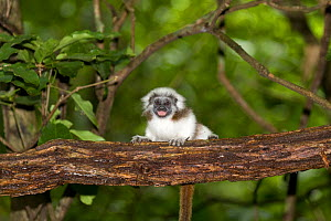 Juvenile cotton-top tamarin (Saguinus Oedipus) vocalizing in the dry tropical forest of Colombia, South America.  IUCN List: Critically Endangered  -  Lisa Hoffner