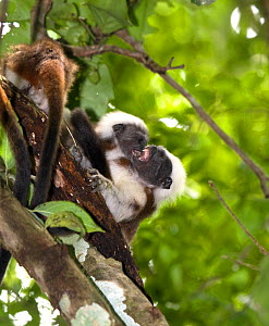 Wild Cotton-top tamarins (Saguinus oedipus) play fighting (never before photographed behavior) in the dry tropical forest of Colombia, South America IUCN List: Critically Endangered  -  Lisa Hoffner