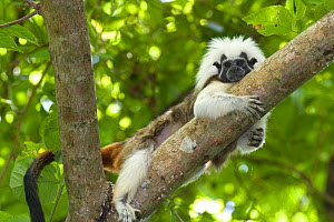 Wild Cotton-top tamarin (Saguinus oedipus) resting on a branch in the dry tropical forest of Colombia, South America IUCN List: Critically Endangered  -  Lisa Hoffner