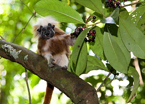 Wild Cotton-top tamarin (Saguinus oedipus) feeding on seasonal berries, Patica de Paloma (Stylogyne turbacensis), in dry tropical forest of Colombia, South America IUCN List: Critically Endangered  -  Lisa Hoffner