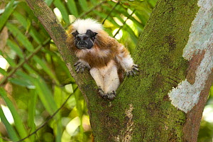 Wild Cotton-top tamarin (Saguinus oedipus) sitting in the crook of a tree in dry tropical forest of Colombia, South America IUCN List: Critically Endangered  -  Lisa Hoffner