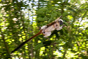 Wild Cotton-top tamarin (Saguinus oedipus) appears to fly through the air as it jumps from branch to branch (never before photographed) in the dry tropical forest of Colombia, South America IUCN List...  -  Lisa Hoffner
