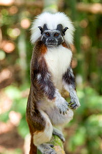 Wild Cotton-top tamarin (Saguinus oedipus) standing on back legs (behavior never observed or photographed before) in the dry tropical forest of Colombia, South America IUCN List: Critically Endangere...  -  Lisa Hoffner