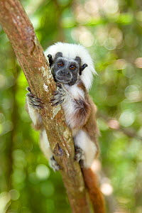 Portrait of a wild Cotton-top Tamarin (Saguinus Oedipus) resting on vine in tropical dry forest of Colombia, South America. IUCN List: Critically Endangered  -  Lisa Hoffner