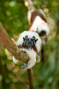 Wild Cotton-top tamarins (Saguinus oedipus) resting on vine in dry tropical forest of Colombia, South America. IUCN List: Critically Endangered  -  Lisa Hoffner