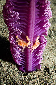 Sea pen porcelain crab (Porcellanella triloba) in Sea pen (Virgularia gustaviana) Porcelain crabs are filter feeders and climb in the sea pen to take advantage of current. When the Sea pen retreats in... - Georgette Douwma