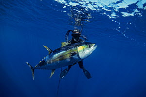 Bluewater hunter surfaces with giant Yellowfin Tuna (Thunnus albacares) killed with a hand-made, 2m speargun, Mexico, Pacific Ocean.  -  Jeff Rotman