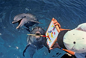 Bottlenose Dolphin (Tursiops truncatus) painting with paintbrush, dolphin trainer holds the artwork, Dolphin Reef, Eilat, Israel, Red Sea. - Jeff Rotman