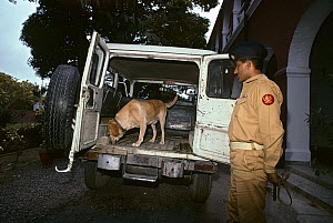 Drug sniffing dog, trained by Pakistan�s Anti-Narcotics Force, searches inside a truck. Dogs are used frequently to search cars and luggage at the airport. Rawlpindi, Pakistan. - Jeff Rotman