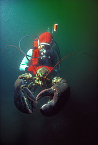 Diver holds 20 kilo Northern / American Lobster (Homarus americanus) with claws open, demonstrating aggressive behavior, New England, USA, North Atlantic Ocean. Model released Model released.  -  Jeff Rotman