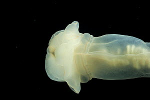 Enteropneust worm / Acorn worm (Allapagus isidis) from the North Atlantic Ocean.  Southern White variety. Feeds on sea floor sediment and has been observed swimming,~ new species, first recorded in Ju... - David Shale