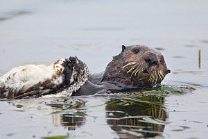 Southern Sea Otter (Enhydra lutris) swimming on back, carrying dead Western grebe (Aechmophorus occidentalis), Monterey, CA, USA - Suzi Eszterhas