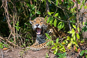 Jaguar (Panthera onca) yawning, Cuiaba River, Pantanal, Brazil~*Digitally removed branch from foreground - Mark Carwardine