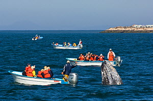 Tourists in small boats watching a curious Grey whale (Eschrichtius robustus) spyhopping, San Ignacio Lagoon, Baja California, Mexico,  February 2006 - Mark Carwardine