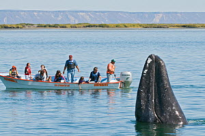 Tourists watching Grey whale (Eschrichtius robustus) spyhopping, San Ignacio Lagoon, Baja California, Mexico,  February 2010 - Mark Carwardine
