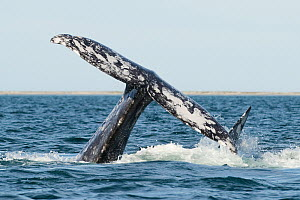 Grey whale (Eschrichtius robustus) mating group, lifting tail high in the air, San Ignacio Lagoon, Baja California, Mexico - Mark Carwardine