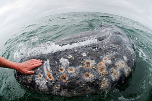 Hands of a tourist leaning from boat to touch the skin of a friendly Grey whale (Eschrichtius robustus) San Ignacio Lagoon, Baja California, Mexico, April 2009  -  Mark Carwardine