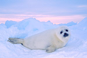 Harp seal pup (Phoca groenlandicus) with white coat on the sea ice. Gulf of St. Lawrence, Nova Scotia, Canada. March - Jenny E. Ross