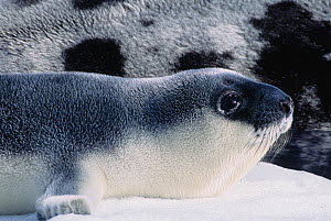 Newborn hooded seal pup (Cystophora cristata) lies next to its mother on the floating sea ice, Gulf of St. Lawrence, Canada. - Jenny E. Ross