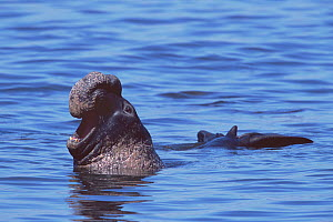 Adult male Northern elephant seal (Mirounga angustirostris) swimming near shore, and vocalizing to other males on the beach, after losing a territorial battle. Ano Nuevo State Reserve, California, USA...  -  Jenny E. Ross