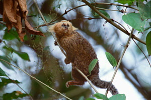 An adult Buffy-headed marmoset (Callithrix flaviceps) climbing up a vine in dense forest within the Atlantic Forest, Minas Gerais, Brazil. September  -  Jenny E. Ross