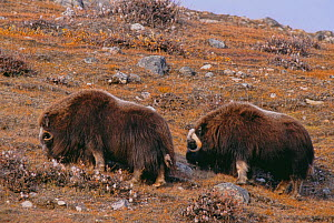 Two Musk oxen (Ovibos moschatus) grazing on vegetation on a rocky hillside in Rypefjord, within Scoresby Sund, Greenland  -  Jenny E. Ross