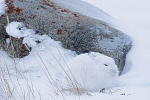 Arctic hare (Lepus arcticus) camouflaged during a snowstorm, sheltering from the wind. Near Churchill, Manitoba, Canada. November  -  Jenny E. Ross