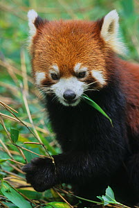 Head portrait of Wild red panda (Ailurus fulgens) feeding on bamboo, Min Shan Mountains, Sichuan Province, China. September - Jenny E. Ross